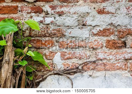Old brick wall and plants on it