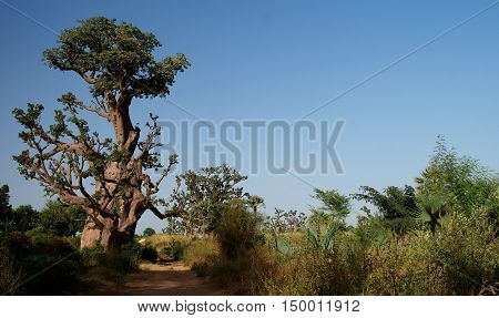 Landscape with giant Baobab forest Dakar Senegal