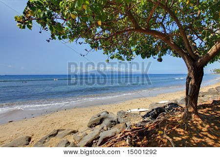 Large Tropical Tree And Hawaiian Beach