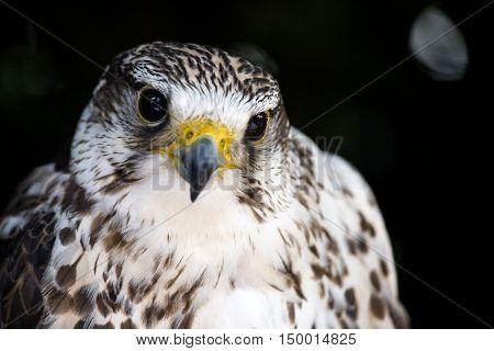 Portrait Of A Common Kestrel Isolated