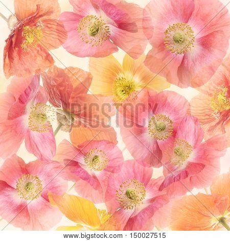 Poppy Flowers Blossom for Background