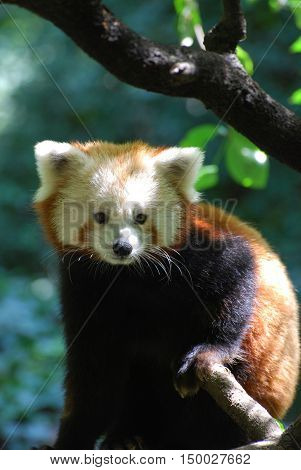 Gorgeous lesser panda bear sitting on a tree branch.