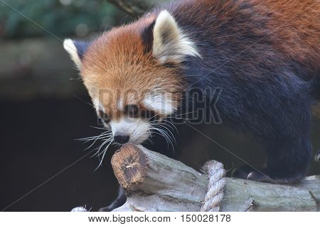 Red panda bear with a large chunk of wood.