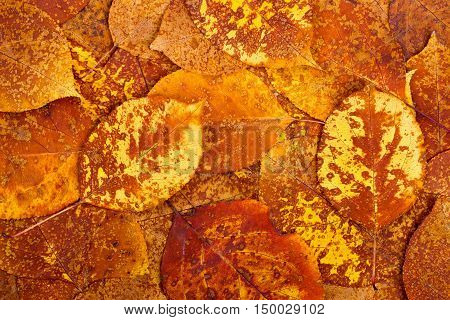 Natural background from autumn orange colourful leaves