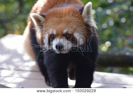 Really cute face of a lesser panda bear.