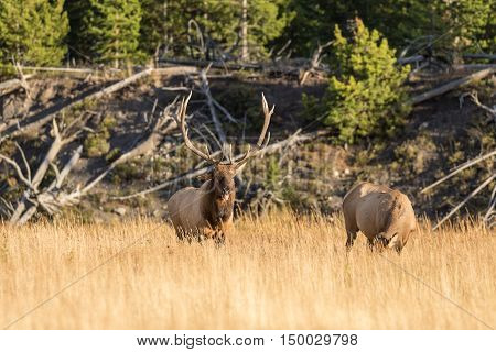a rutting bull elk with a cow in a meadow in fall