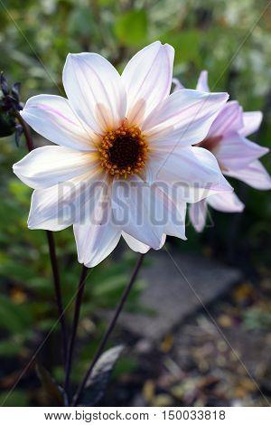 Dahlia flower Bishop of Leicester flower. Closeup