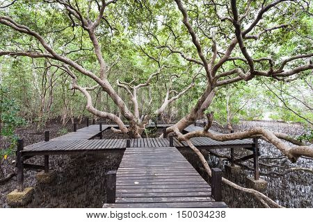 Big tree and wooden bridge at Tung Prong ThongGolden Mangrove FieldPra Sae Rayong Thailand.