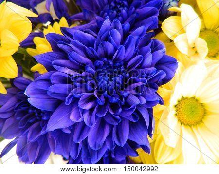 Big blue chrysanthemum among blue and yellow chrysanthemums. Big beautiful petals. Delicate flowers.