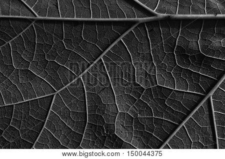 Fresh leaf converted to black and white with distinct granular structure with visible veins and nerve structure. Abstract interesting background and texture. Close horizontal view.