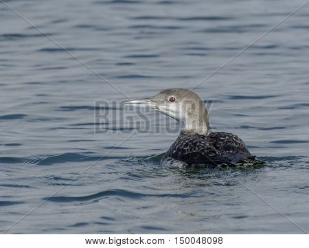 A Common Loon (Gavia Immer) swimming on a lake in York County Pennsylvania USA during the autumn.