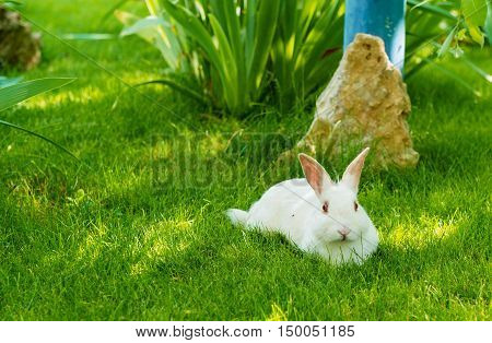 Rabbit white. The white Rabbit is on the green grass.