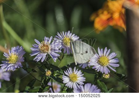 Butterfly pierid cabbage on a flower chrysanthemum