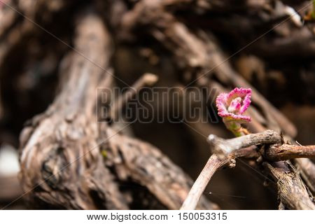 Pink leaf bud sprouting on brown bumpy vine branch