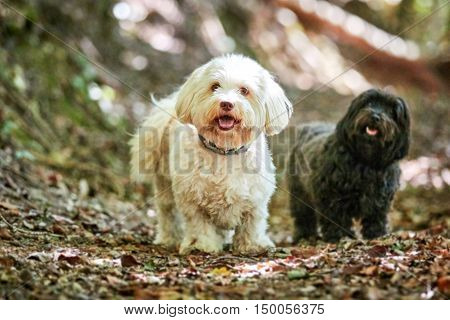 Black And White Havanese Dog In The Forest