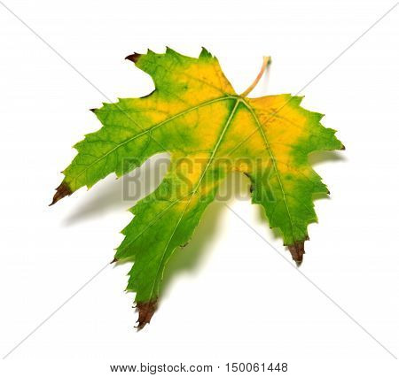 Autumn Multicolor Leaf