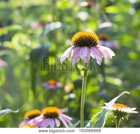 Flowers Of Purple Coneflower In Sunlight.