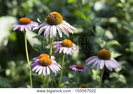 Flowers Of Echinacea Purpurea.