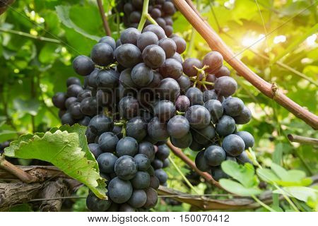 close up of the purple grapes on vine in garden.