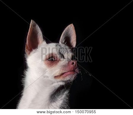 a cute chihuahua in natural sunlight with shallow depth of field