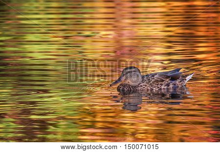 a duck swimming in a pond at a local park during fall or autumn with the red and orange leaves reflecting in the water