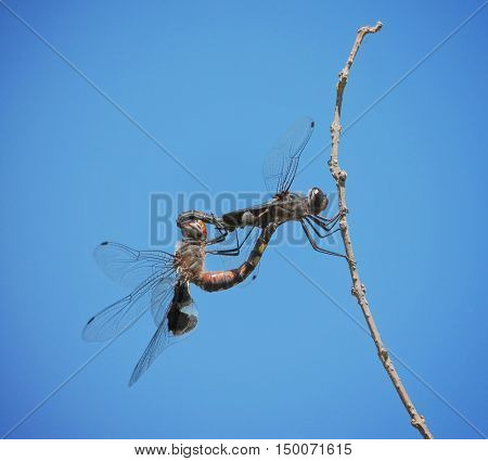 a dragonfly mating with another one on a stick in nature