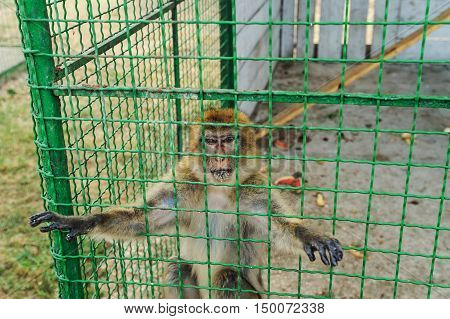 Animals in captivity. Macaques are in a cage.