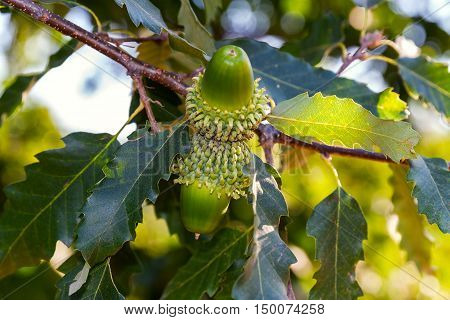 Big green acorns with shaggy cupule on a branch of the Austrian Oak
