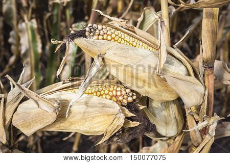 horizontal image of two corn on the cobs still hanging on the vine in the late fall ready for harvest.