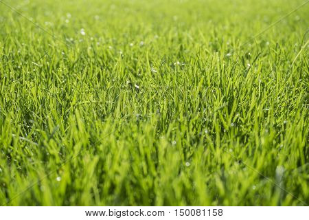 Nature background of beauty bright green grass