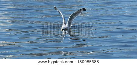 A seagull lands and is catching a bunker fish