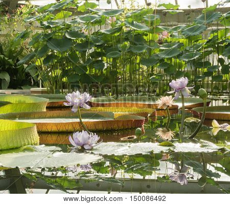 Blossoming Lotus flowers on a background of a large Victoria Amazonian lilies in the garden