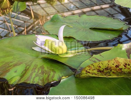 Lily flower lying on the sheet. Healthy lifestyle. Live nature. flowers