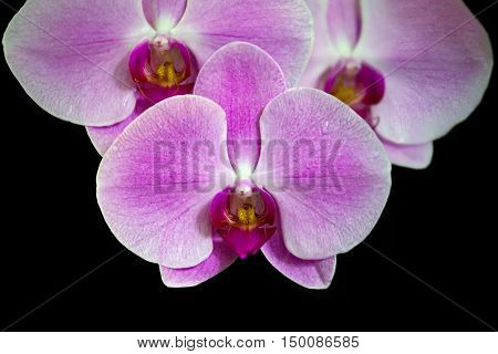 Pink streaked orchid flower isolated on black