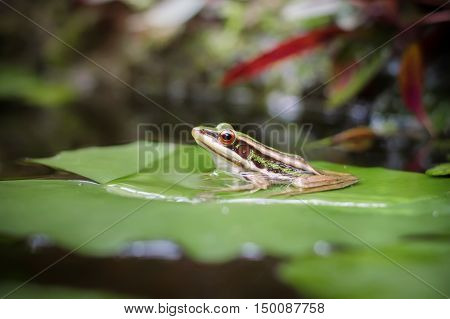 Green frog (green paddy frog) sitting on lotus leaf in a pond
