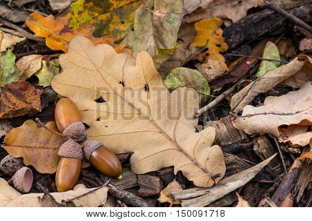 Composition of acorns and a dry oak leaf on the ground in the autumn forest
