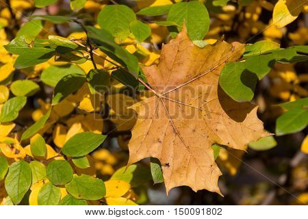 Yellow maple leaf surrounded by the few remaining green leaves