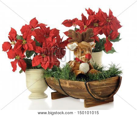 A toy fawn with a strapped-on red nose in a half-barrel among potted  poinsettias.  Isolated on white.