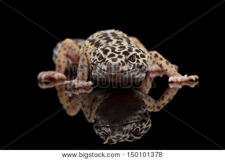 Leopard Gecko Eublepharis macularius Isolated Black Background with reflection, Front view on predator