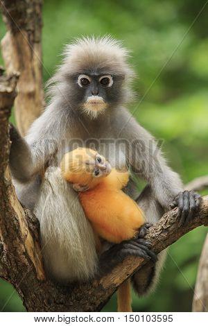 motherhood of Dusky leaf monkey Dusky langur in southern of thailand