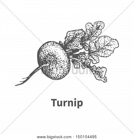 Vector illustration doodle black and white hand-drawn turnip. Isolated on white background. The concept of harvesting. Vintage style. Plant with the inscription.