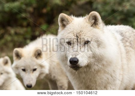Arctic Wolves in a fall forest resting