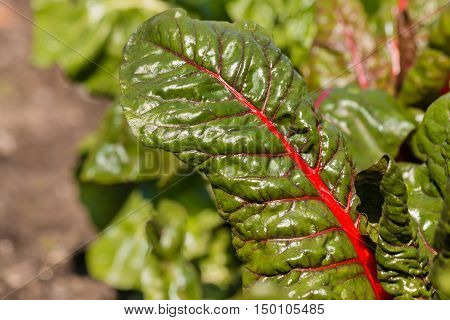 closeup of swiss chard leaves growing in garden