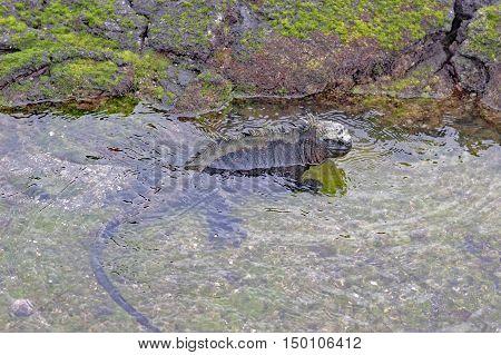 Galapagos marine iguana on the shore of Fernandina Island, Galapagos