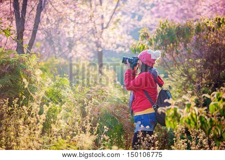 woman traveler take a photo and enjoying in cherry blossom garden chiang mai.