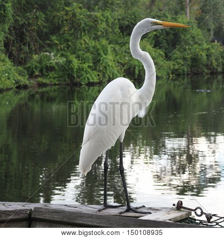 great egre bird perched on a wood railing. The bird is near the water in a jungle