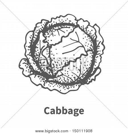 Vector Illustration Hand-drawn Cabbage