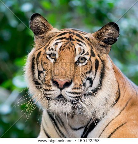 big tiger bengal    in the big zoo