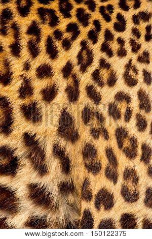 Real jaguar skin in the big zoo