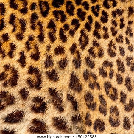 Real jaguar skin in the big zoo